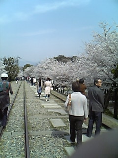京都で花見!!